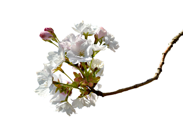 free illustration branch cherry cherry branches free