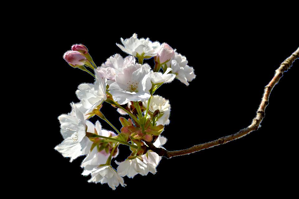 Free Illustration: Branch, Cherry, Cherry Branches