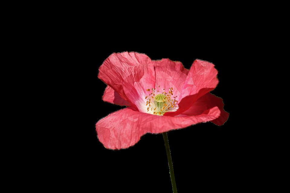 Amapola, Rojo, Flor, Primavera, Rojo Flores, Silvestres