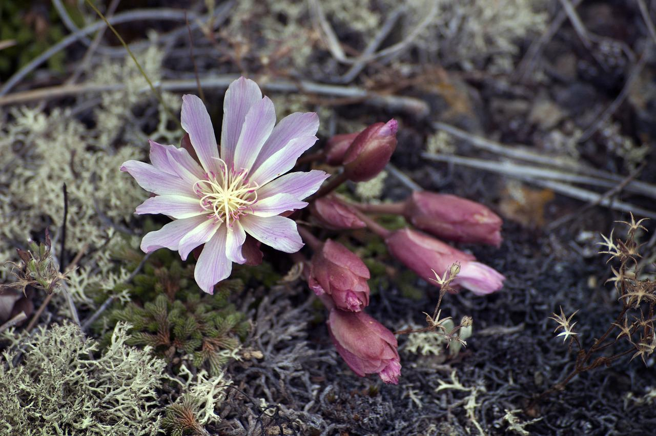 Цветок климаксан