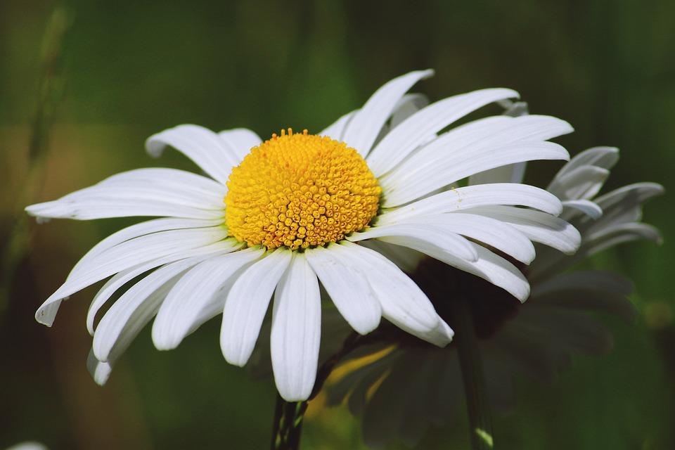 Flower marguerite white free photo on pixabay flower marguerite white plant summer flora mightylinksfo