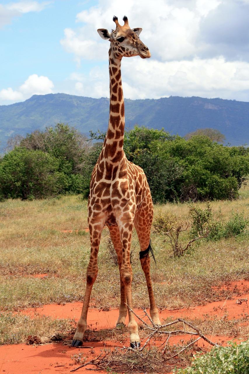 Все о жирафе с картинками
