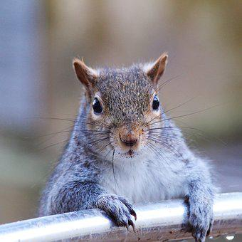 Grey Squirrel, Squirrel, Nature