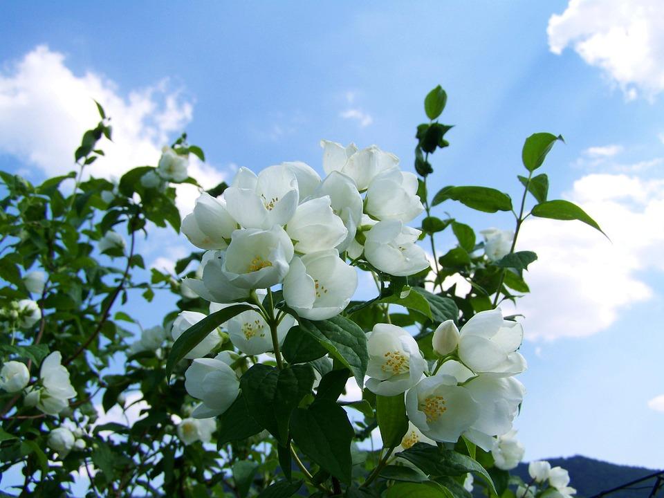 free photo jasmine  white flower  garden free image on summer vector free icons summer vector freepik