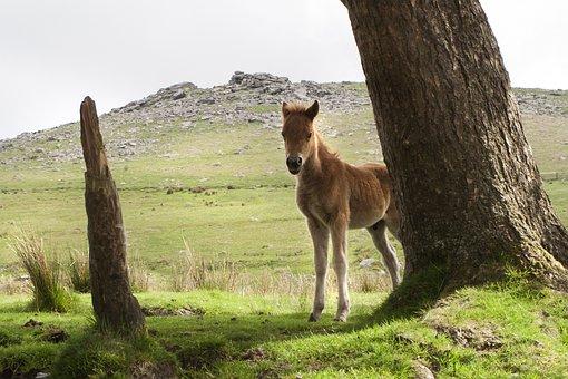 Dartmoor, Pony, Horse, Devon, Wild