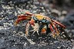 sally, crab
