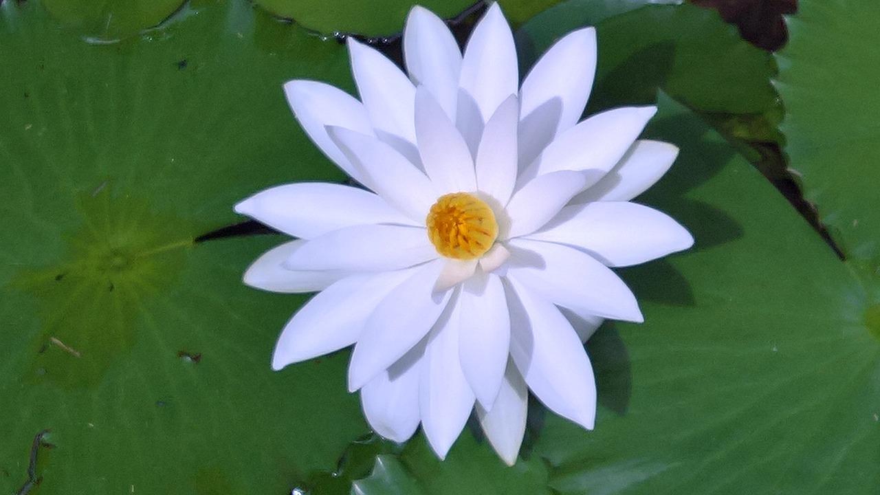 картинки кувшинки белые как звезды расцвели олени окрашены