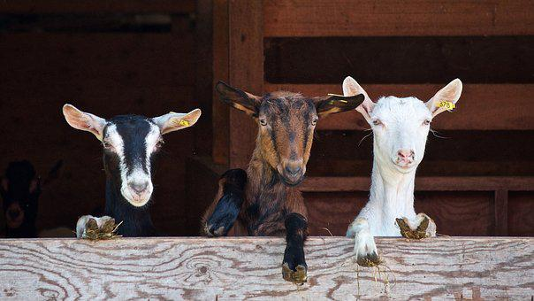 Goats, Curious, Farm, Domestic