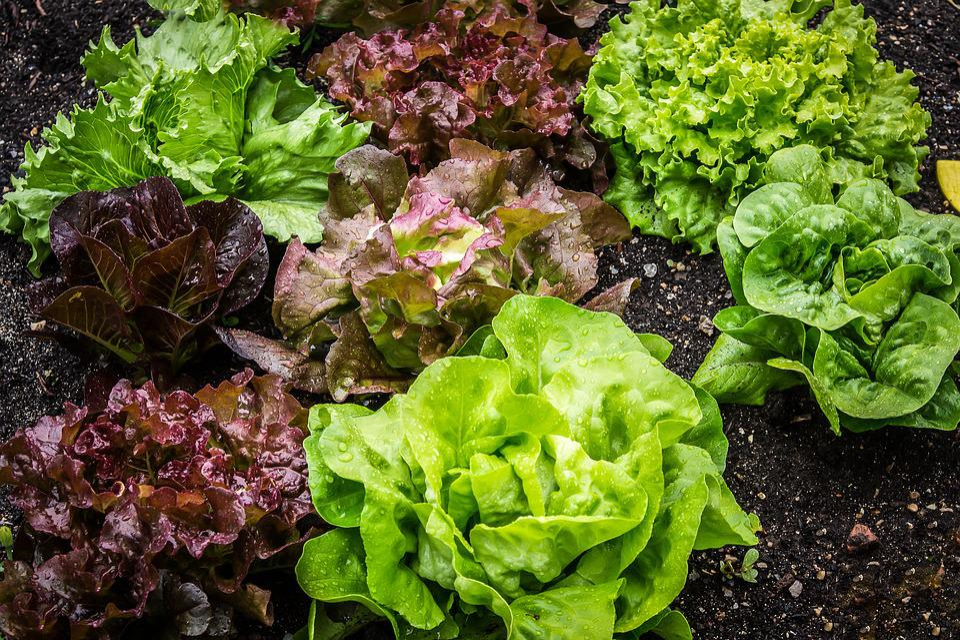 Ensalada, Salatpflanze, Lechuga, Vegetariano