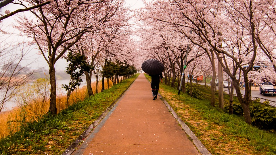 Waling, Regnfuld, Paraply, Slentrer, Cherry Blossom