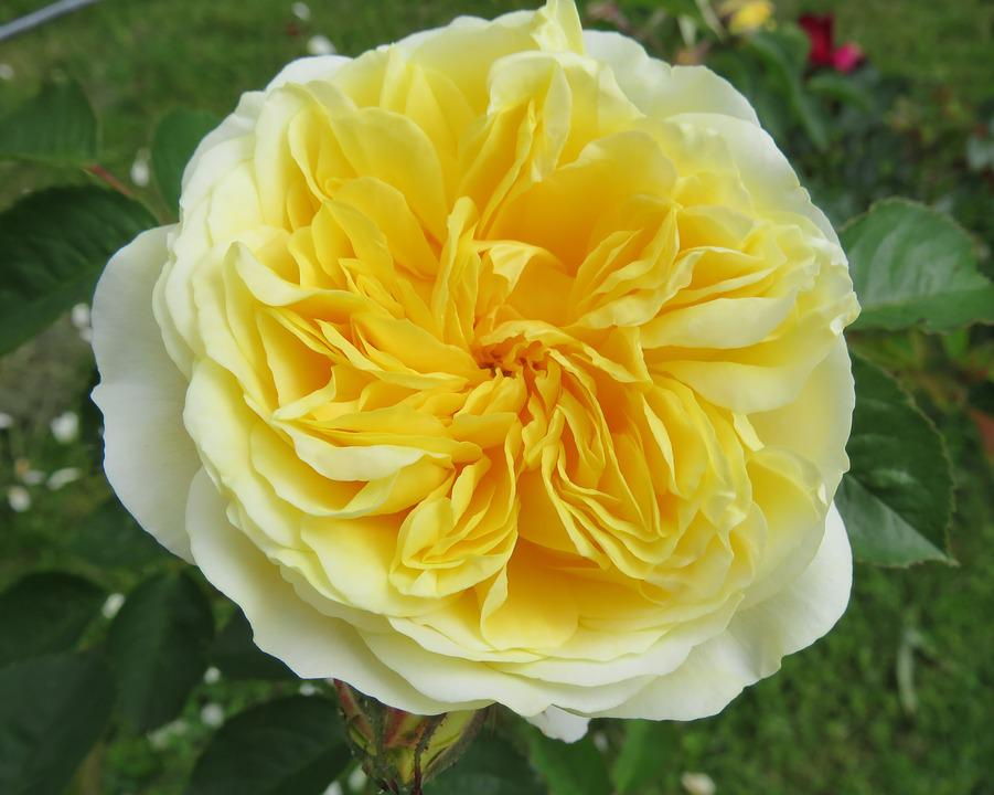 Rose yellow flower free photo on pixabay rose yellow flower summer friendship joy garden mightylinksfo