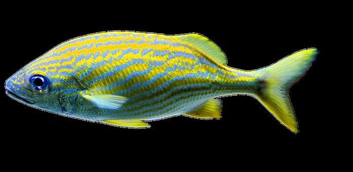 Фото морских рыб на прозрачном фоне