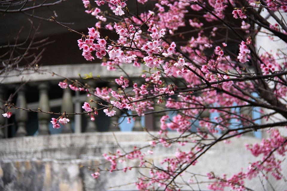 桜, 飛寒桜, ピンク, 春, ビルディング, ホワイト, 背景, フルオープン