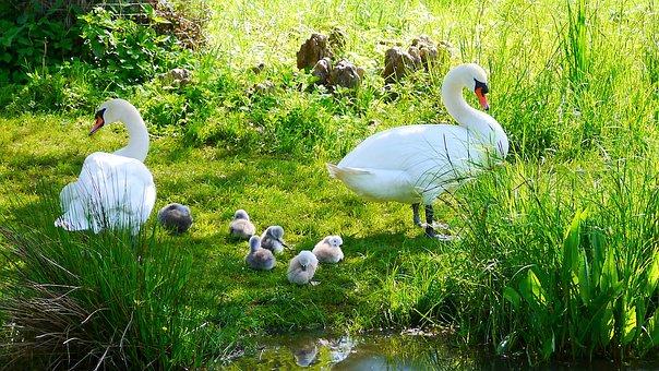 Swans, Water Bird, Ducks, Poultry
