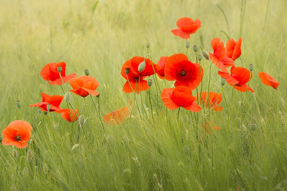 Poppies flower red free photo on pixabay poppies flower red nature poppy flowering mightylinksfo