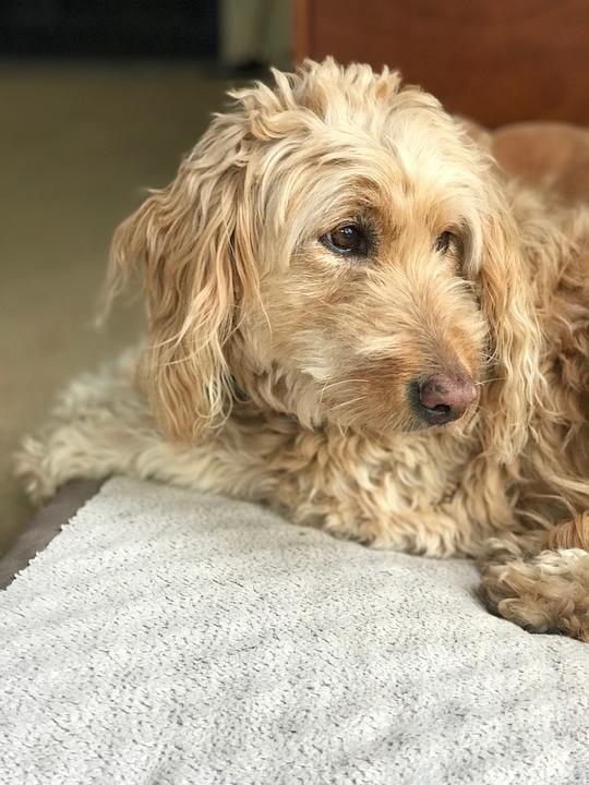 gouden doodle huisdier hond - gratis foto op pixabay