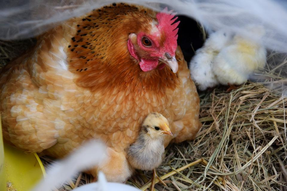 Hens, And, Chicks - Free images on Pixabay