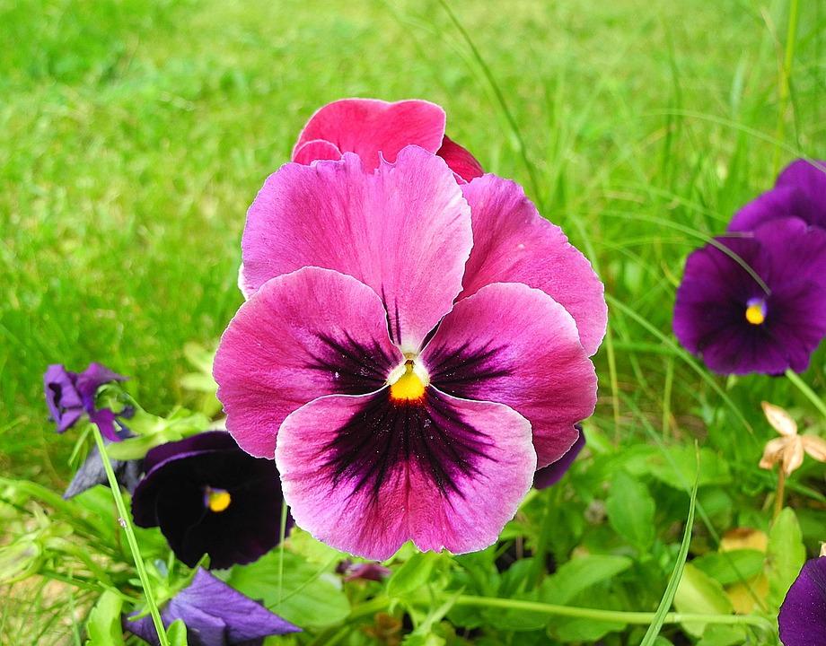 Bloem En Tuin : Viooltje bloem bloementuin · gratis foto op pixabay