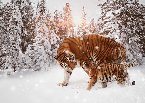 Tiger, Predator, Big Cat, Cat