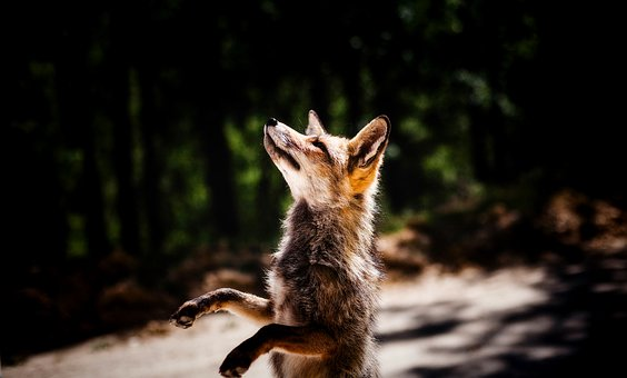 Fox, Animal, Wildlife, Cute, Standing