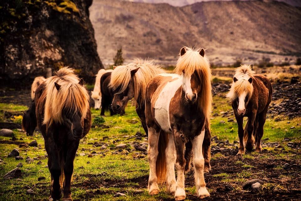 iceland horses pony free photo on pixabay