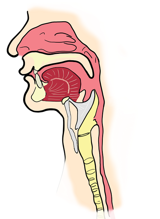 The Larynx Pharynx Anatomy · Free image on Pixabay