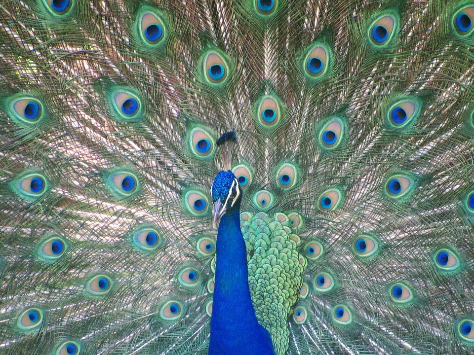 Unduh 46+ Foto Gambar Burung Merak Berwarna  Paling Bagus Gratis