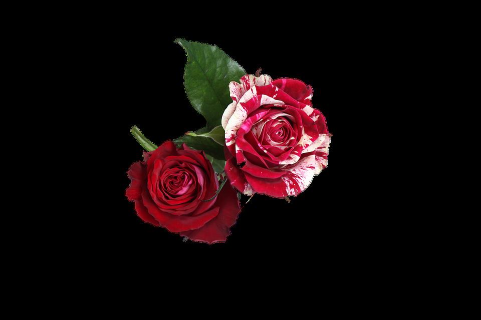 Roses flowers white free image on pixabay roses flowers white red mightylinksfo