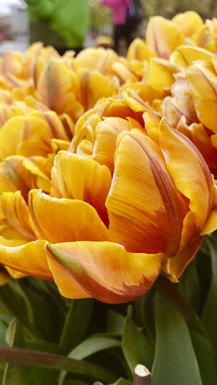 золотые тюльпаны фото первую очередь при