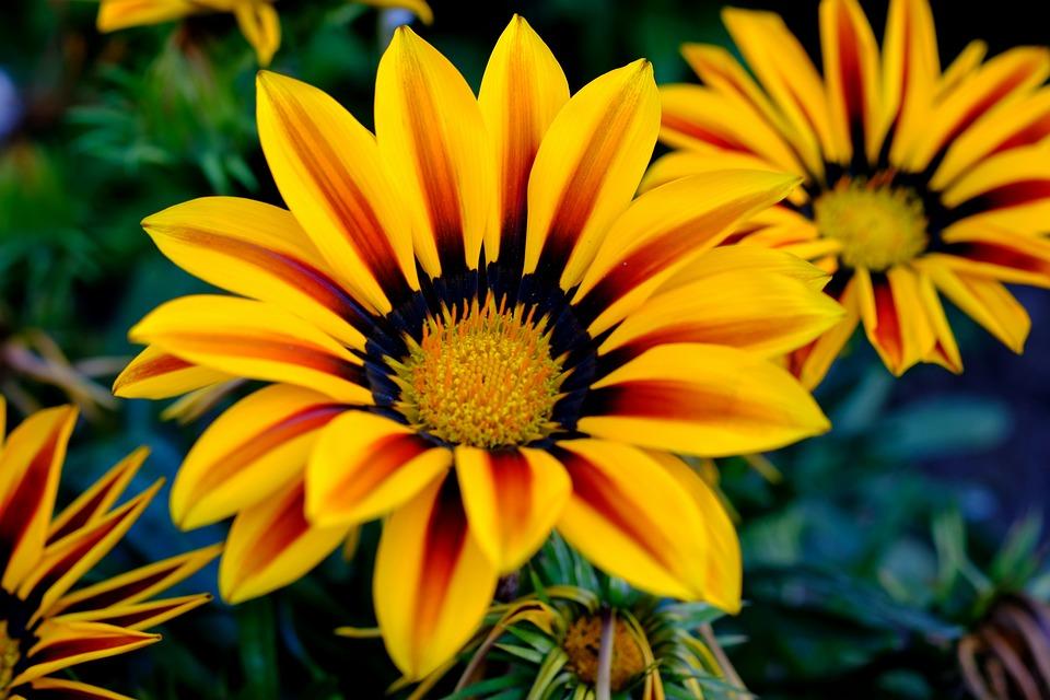 Gazani hybrids flower yellow free photo on pixabay gazani hybrids flower yellow yellow flower blossom mightylinksfo