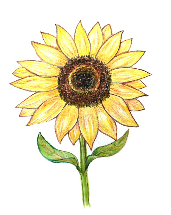Sunflower Colored Pencils Drawing Free Image On Pixabay