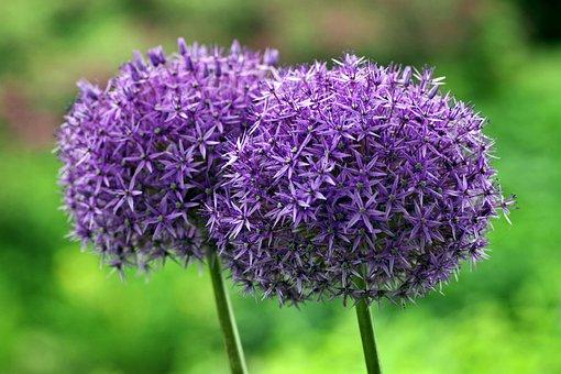 観賞ニンニク, 巨大, 球, 花, バイオレット, 球状, 庭, 高いです