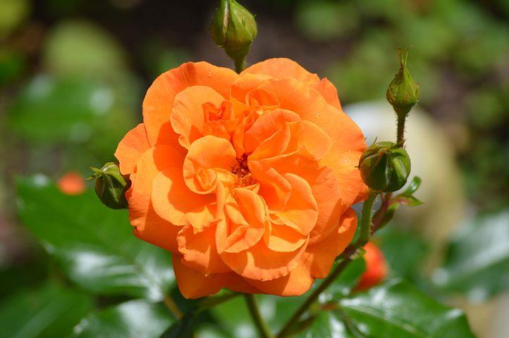 роза с палкой картинка оранжевая