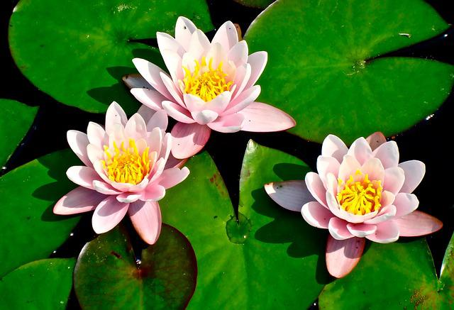 Lily Pad Lilies Flower 183 Free Photo On Pixabay