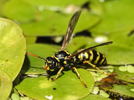 Wasp, Insect, Nature, Animal