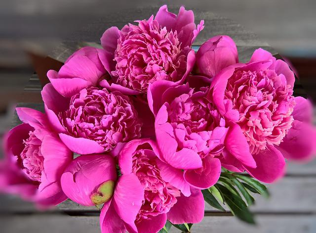peony bouquet large flowers  u00b7 free photo on pixabay