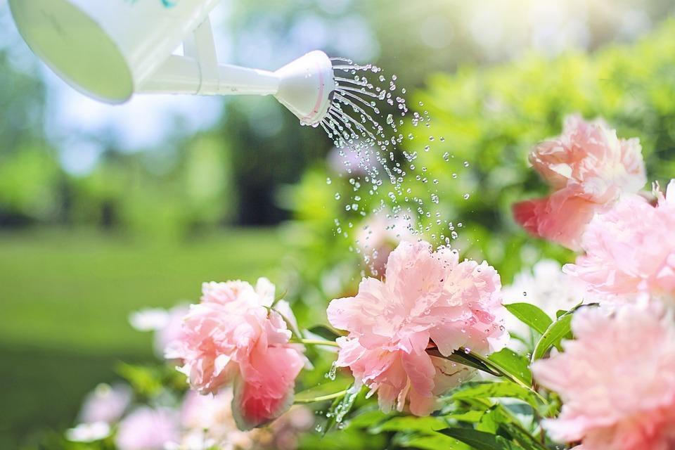Arrosage, Fleurs, Pivoines, Rose, Arrosoir, Nature