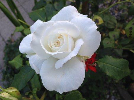 Rose Blanche, Rose, Rose Dans Le Jardin