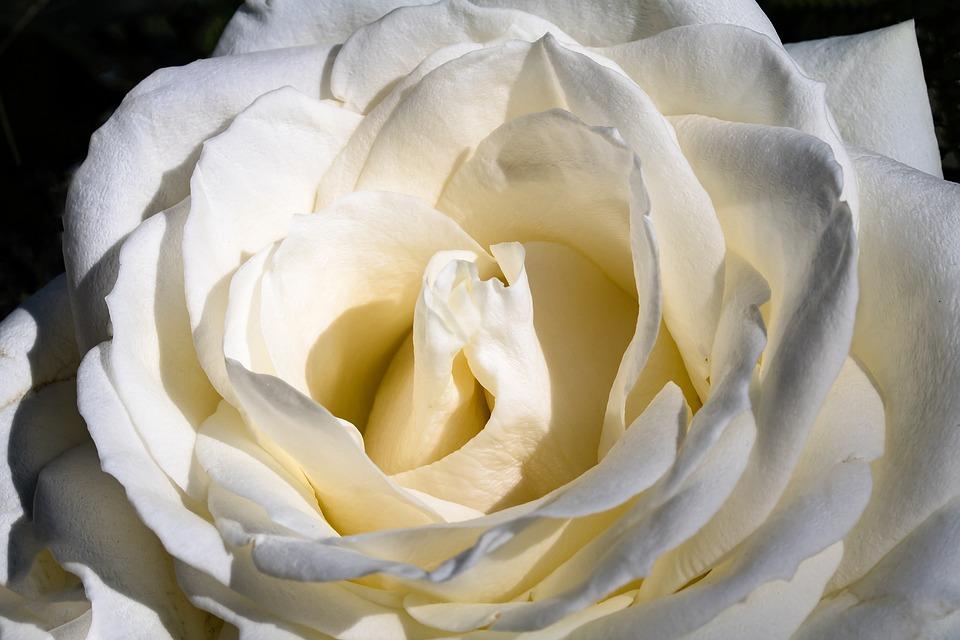 Rose, White Rose, Blossom, Bloom, Flower, Rose Bloom