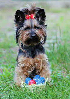 Yorkie, Eggs, Bow, Easter, Dog, Sitting