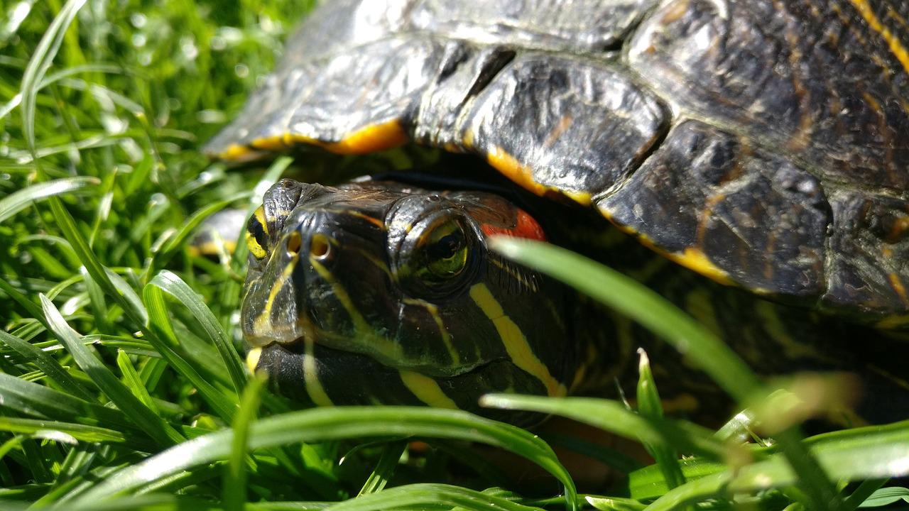 red eared slider turtle Red eared slider turtle is one of the most popular aquatic turtle pets learn about its care, tank setup, diet, food feeding, and how to buy a healthy turtle on.