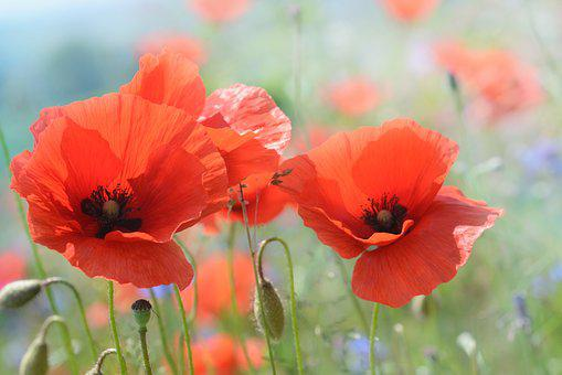 Poppy, Blossom, Bloom, Flower, Nature
