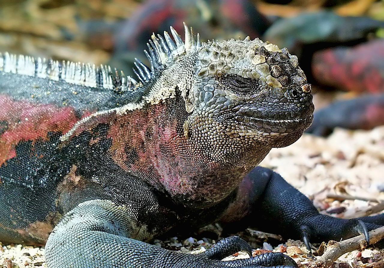Marine Iguana Galapagos - Free photo on Pixabay