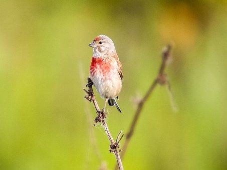 Linnet, Bird, Songbird, Garden Bird