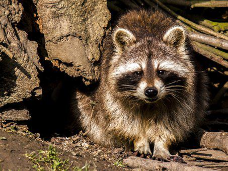 Raccoon, Animal, Nature, Mammal