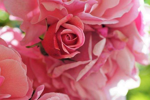 Rosa, Broto, Planta, Jardim, Floração