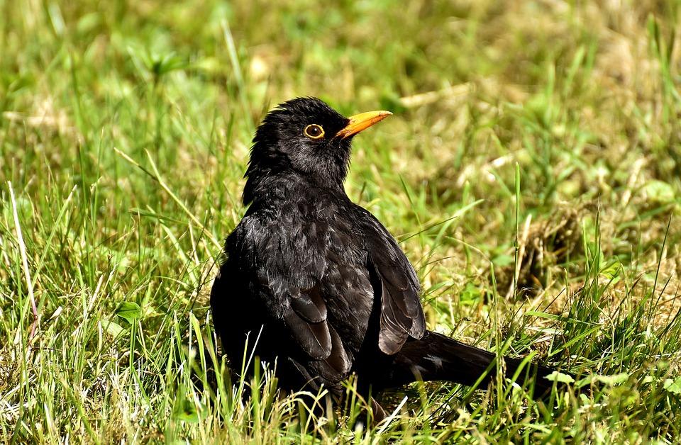 veľké čierne krásne vtáky