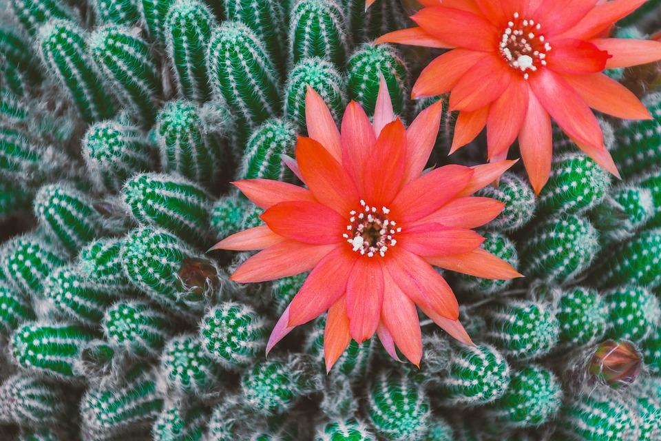 photo gratuite: cactus, fleur, rouge, rose, jaune - image gratuite