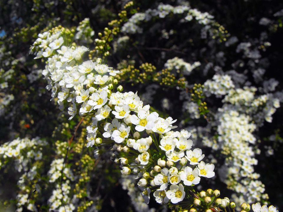 Struiken Met Bloemen Voor In De Tuin.Witte Bloemen Struik Tuin Gratis Foto Op Pixabay