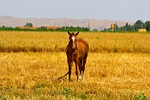 horse, fields, brown